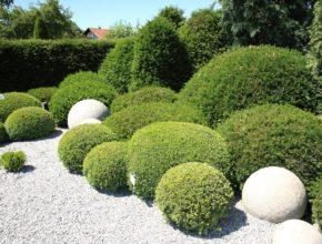Bukszpan kula i jego wpływ na aspekt dekoracyjny naszego ogrodu