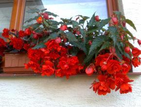 Szukasz taniej i pięknej rośliny na balkon lub taras? Begonia zwisająca to strzał w dziesiątkę