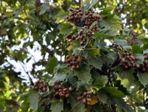 Rzadki gatunek drzewa jak jarząb brekinia w naszym ogrodzie? Raczej nie