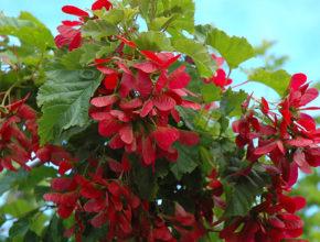 Szukasz pięknego drzewa ozdobnego, który jednocześnie jest łatwy w uprawie? Klon tatarski to odpowiedni wybór.