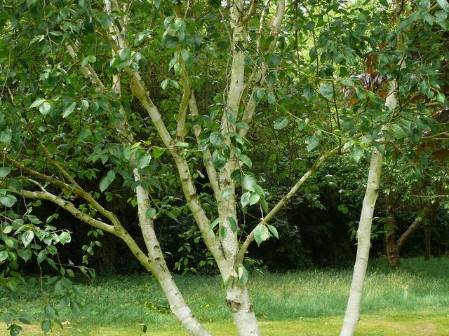 Brzoza Doorenbosa – odmiana brzozy pożytecznej