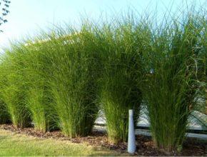 Miskant chiński – niesamowita trawa ozdobna