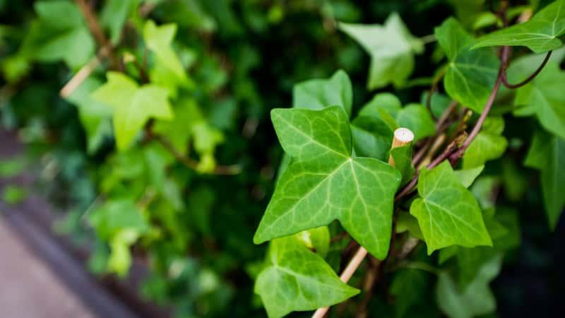 Bluszcz zimozielony – zastosowanie w ogrodzie i w domu