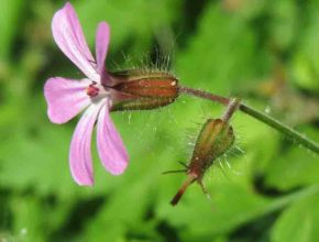 Bodziszek cuchnący – co powinniśmy wiedzieć o tej roślinie?
