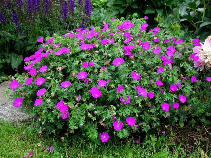Piękne kompozycje w naszych ogrodach z udziałem rośliny jaką jest bodziszek czerwony