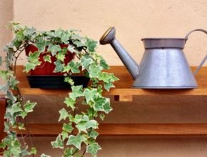 Im więcej zieleni w mieszkaniu, tym lepiej. Zasadźmy bluszcze doniczkowe