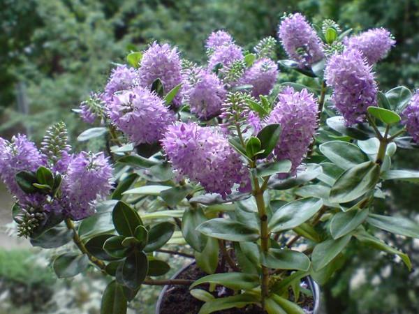 Krzewinka Hebe – piękna roślina w Twoim domu i w ogrodzie