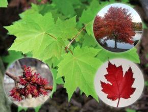 Klon czerwonolistny – idealny do Twojego ogrodu