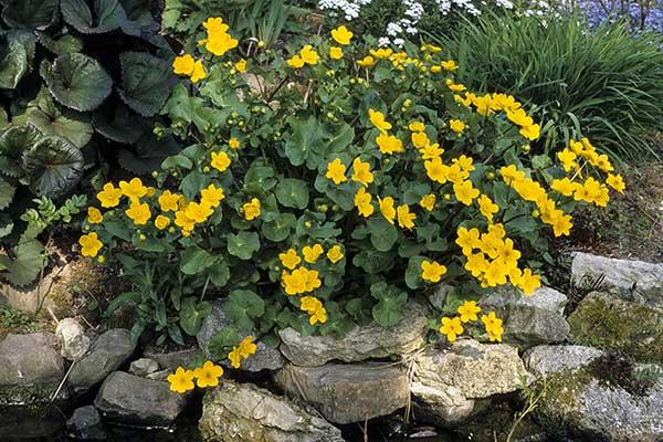 Knieć i inne rośliny w naszym ogrodzie
