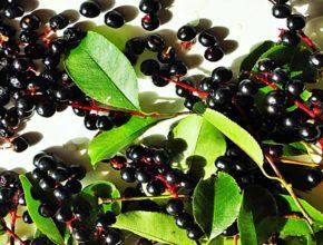 Czeremcha owoc – trująca czy nie?