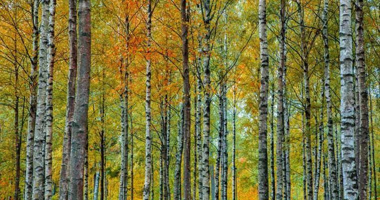 Brzoza pożyteczna – dosyć niespotykane drzewo