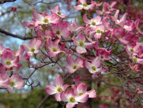 Dereń kwiecisty – to najpiękniejszy krzew
