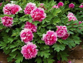 Piwonia krzewiasta – najpiękniejsza roślina kwiatowa
