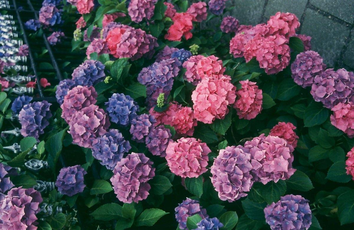 Szukasz rośliny pięknej przez cały rok? Hortensja będzie strzałem w dziesiątkę