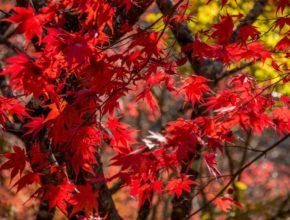 Klon czerwony – co musimy o nim wiedzieć?