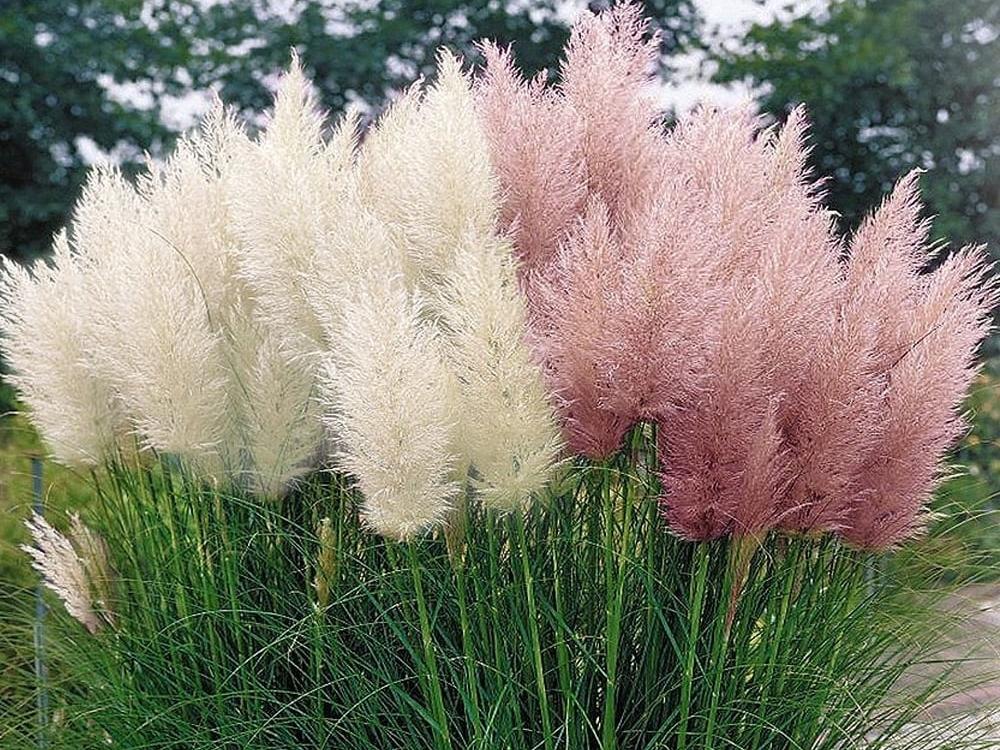 Trawa pampasowa – jedna z najpopularniejszych traw ozdobnych do ogrodu