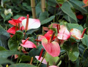 Anturium – jedna z popularniejszych roślin doniczkowych, które wręczamy w prezencie
