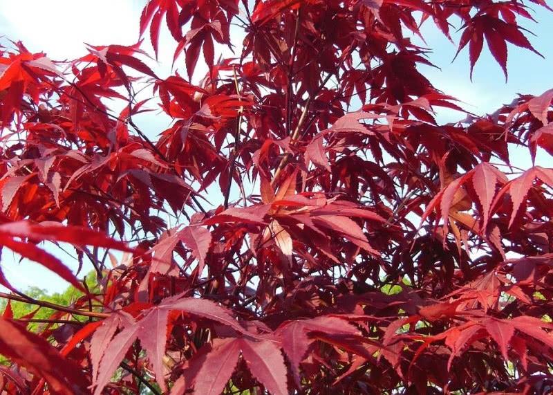 Klon japoński – świetny do ogrodów orientalnych