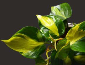 Filodendrony doniczkowe – co powinniśmy o nich wiedzieć?