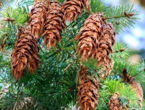 Daglezja – piękne drzewo iglaste