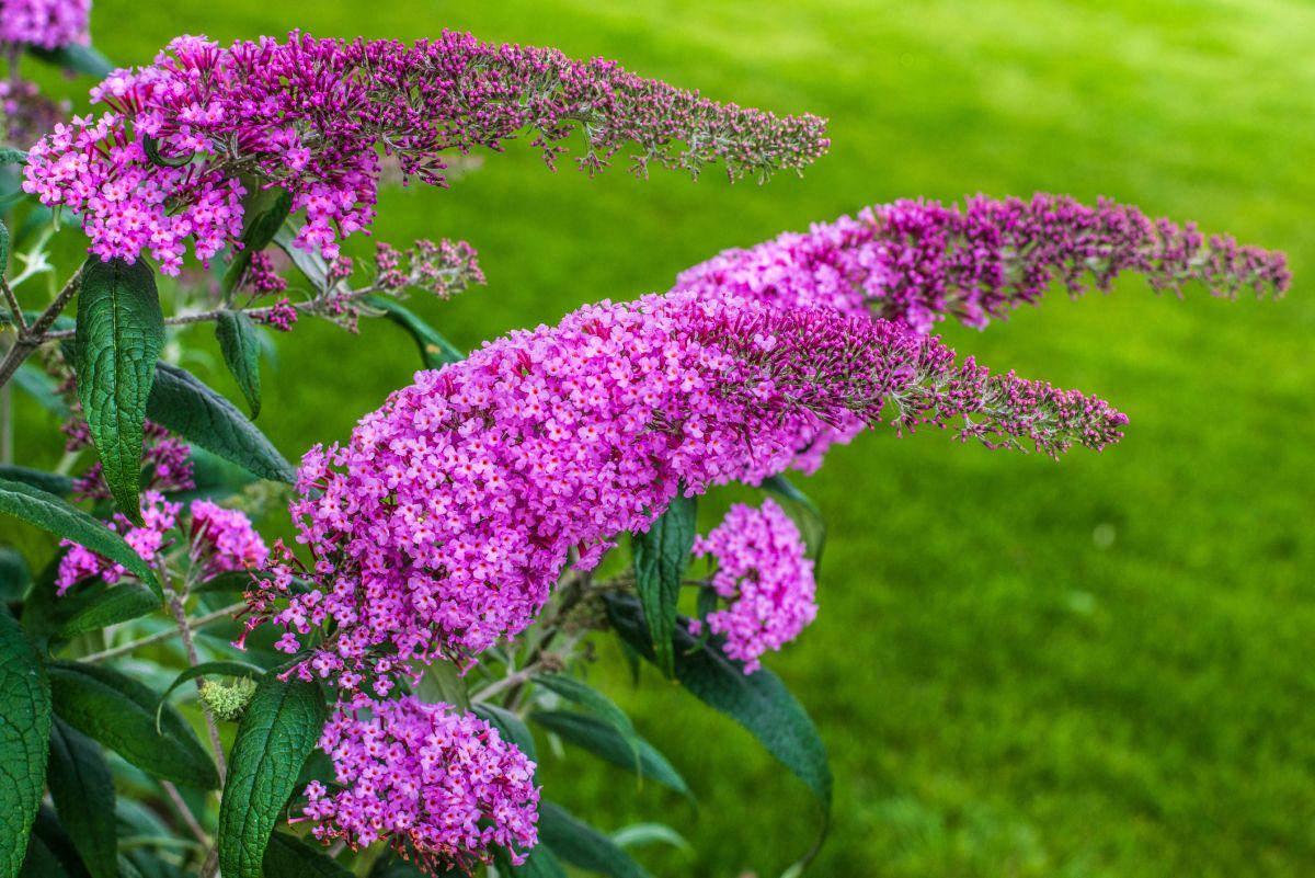 Budleja Dawida – jaką ją uprawiać w ogrodzie?