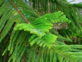 Araukaria – czy możemy ją uprawiać w ogrodzie?