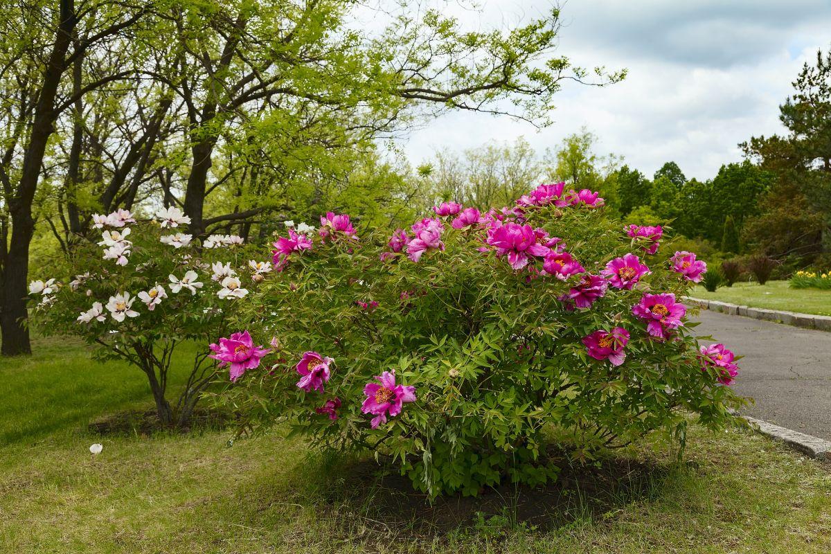 Piwonia drzewiasta – oryginalne rośliny