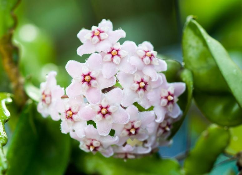 Hoja – co to za roślina?