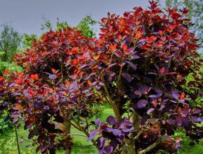 Perukowiec – idealny krzew dla osób niecierpliwych