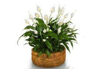 Skrzydłokwiat i jego zdrowotne właściwości