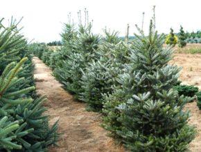 Szukasz wymagającego drzewa iglastego? Jodła koreańska będzie strzałem w dziesiątkę