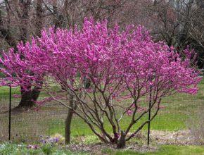 Piękne wiosenne drzewo – judaszowiec