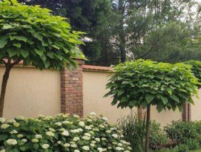 Katalpa – szybko rosnące drzewo