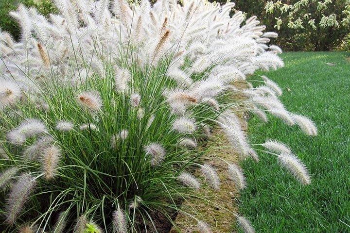 Piękna trawa ozdobna – rozplenica japońska