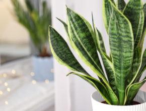 Sansevieria – idealna roślina dla zapominalskich