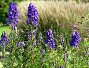 Tojad – piękna roślina, ale jednocześnie bardzo niebezpieczna