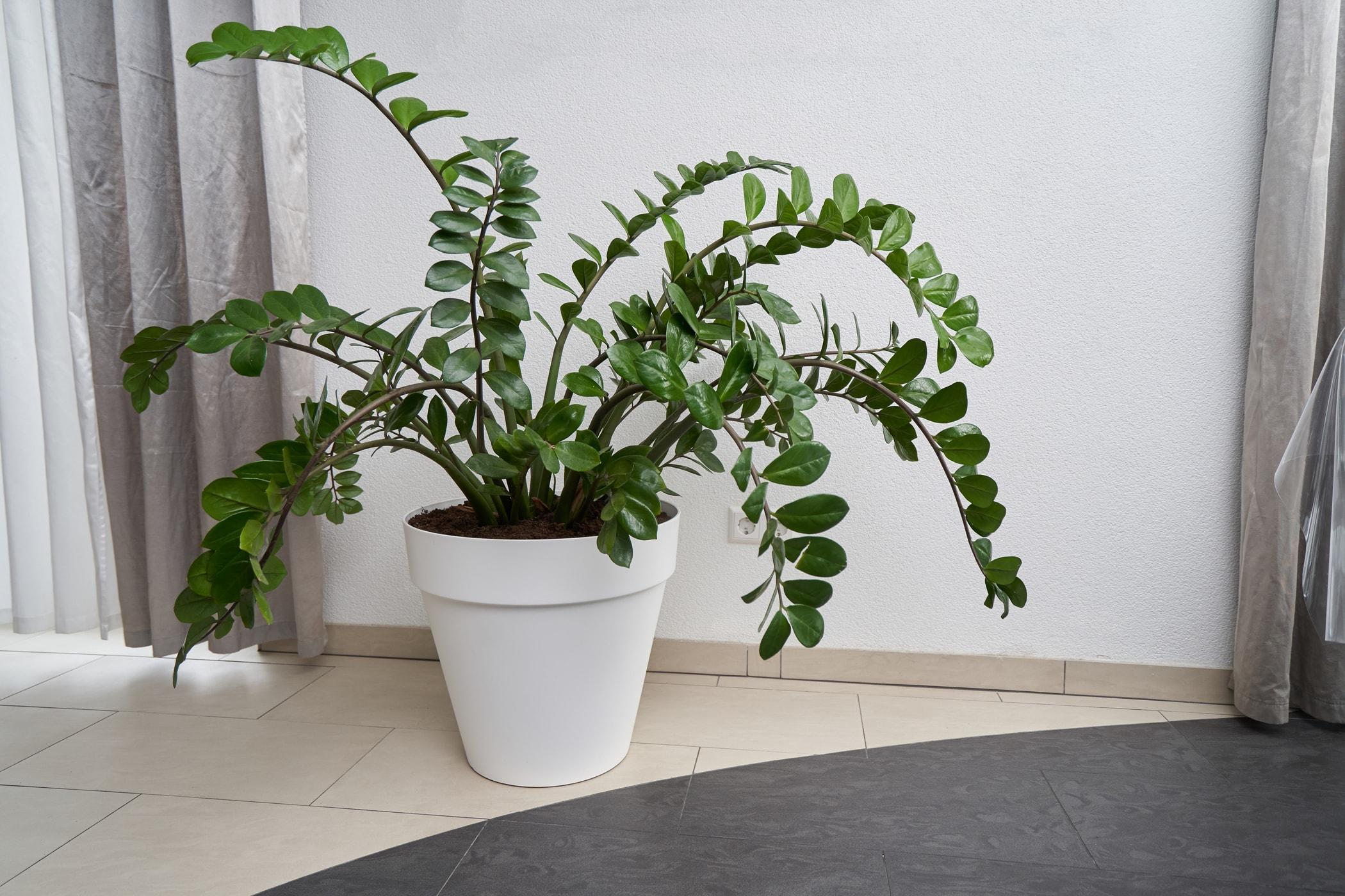 Zamiokulkas – co to za roślina?