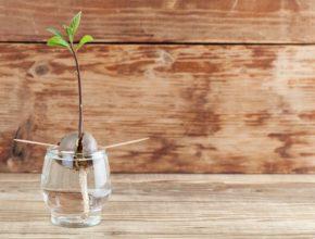 Jak zasadzić awokado – instrukcja krok po kroku