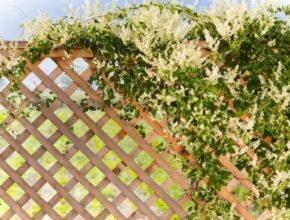 Rdestówka Auberta – co musimy wiedzieć o tym pnączu?