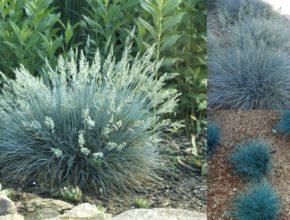 Kostrzewa sina – co powinniśmy wiedzieć o tej roślinie?
