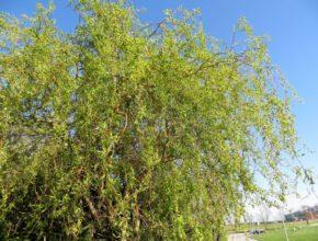 Wierzba babilońska – co to za drzewo?