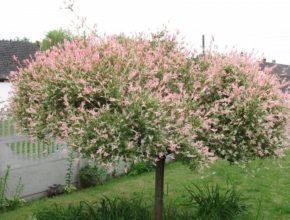 Czy wierzba japońska nadaje się do ogrodu?