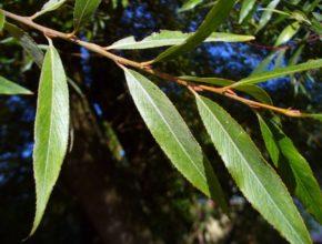 Wierzba liście – przyjrzyjmy się im nieco bliżej