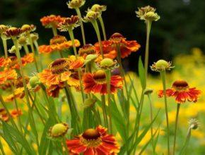 Dzielżany ogrodowe – uprawa