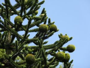 Araukaria chilijska – uprawa