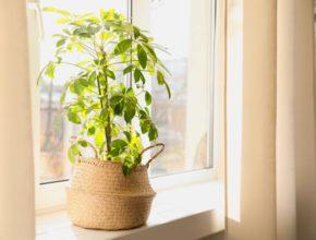 Szeflera drzewkowata – uprawa