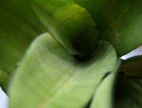 Sansewieria Moonshine – cóż to za kwiat?