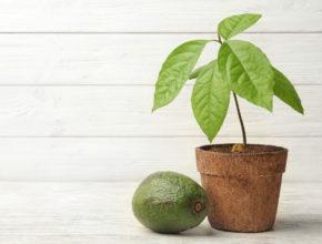 Jak wyhodować w domu drzewo awokado?