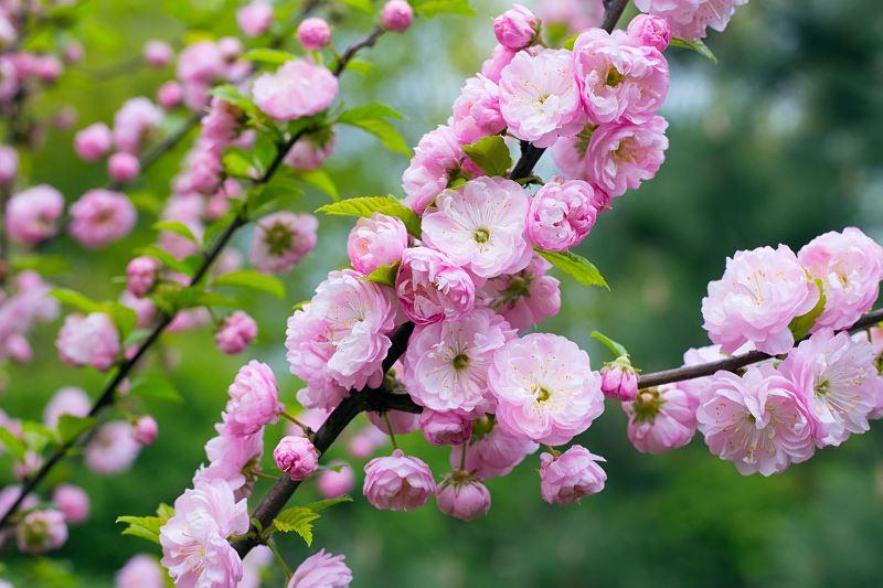 Migdałek trójklapowy – migdałowiec trójklapowy – Prunus triloba